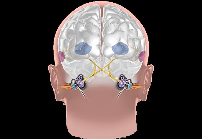 Örat hjälper oss att uppfatta ljud. Lär dig om hur vårt öra fungerar och om örats alla delar. Få information om vårt öra på Audika.se. Lär dig om hjärnan och örat.